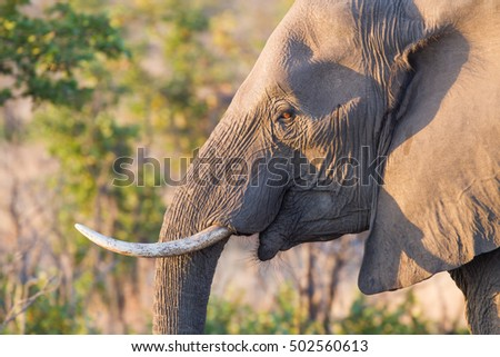 A wild elephant roams the savanna of Kruger National Park in South Africa in late afternoon