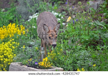 A wild female roe deer eating flowers in a garden