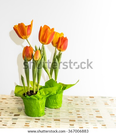 A wrapped in special paper pots of tulips plants shooting flower heads on the table