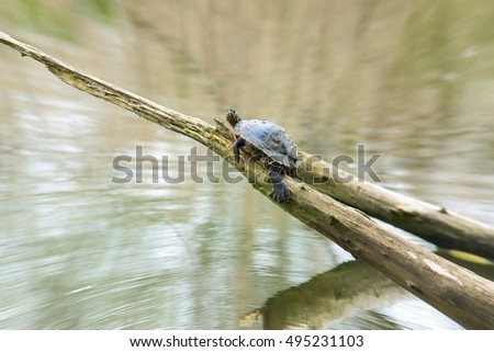 A yellow-billed turtle sunbathes on its favorite spot above the water.