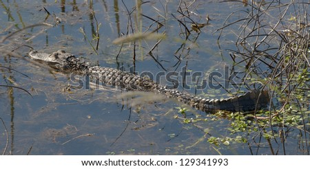 A young alligator suns itself in the swam.