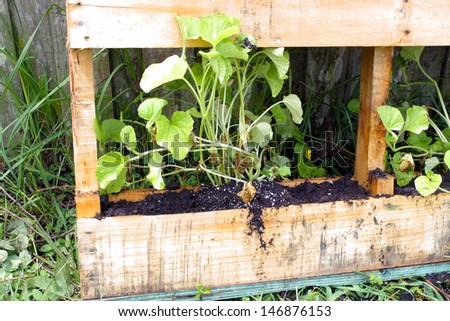 A young cantaloupe plant growing in a slightly modified wooden pallet.