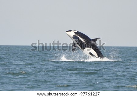 A young killer whale breaches in the Strait of Georgia near Vancouver, BC.