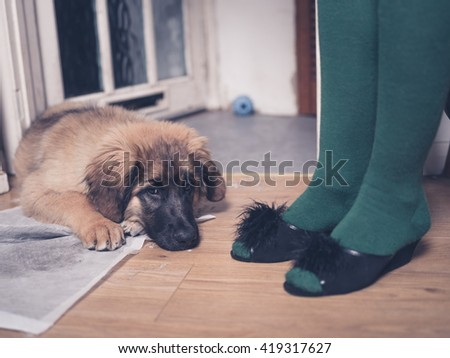 A young Leonberger puppy is lying on the floor with her head in her dirty training pad next to the legs of a woman wearing slippers