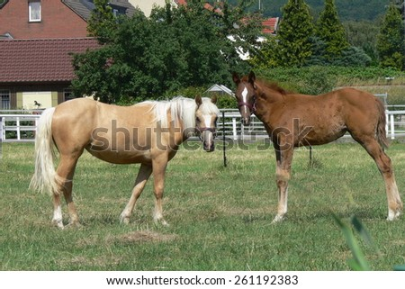 A young palomino with a sweet hanoverian foal
