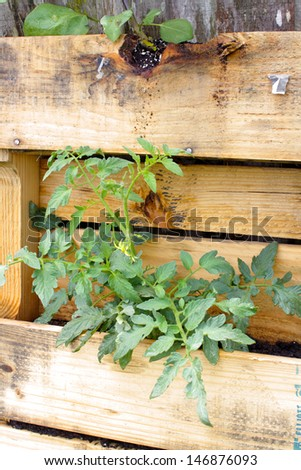A young tomato plant growing in a slightly modified wooden pallet.