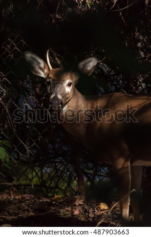 A young whitetailed buck stands against a chain link fence. The sun shines on his face.