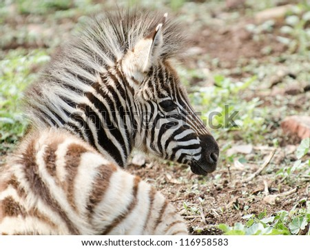 A young Zebra with prominent mane lying on the ground