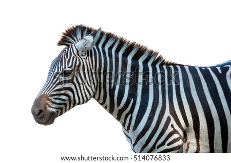 A zebra isolate on a white background.