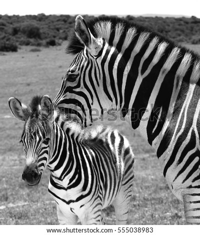 A zebra mother protecting her baby at Addo Elephant National Park, South Africa