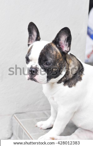 absent-minded  French bulldog on the floor