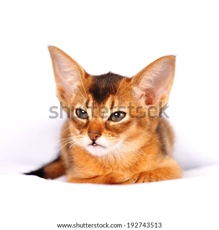 Abyssinian kitten ruddy color portrait on white background