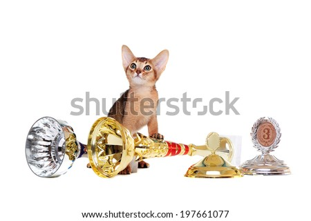 abyssinian kitten  with trophies and awards looking up