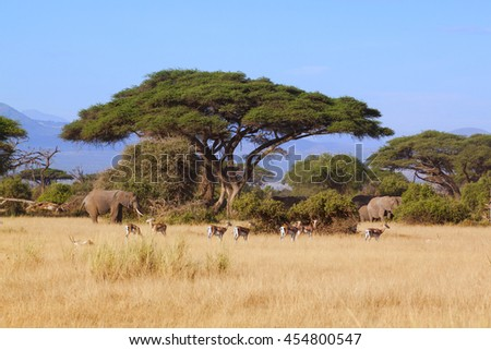 acacia with herd antelope