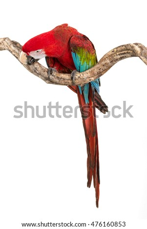 Action of scarlet macaw birds on branch of tree, the beautiful colorful parrot birds isolated on white bakcground.
