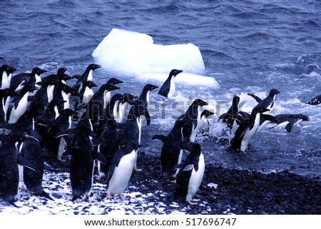 Adelie penguins, jumping into the ocean,	[Pygoscelis adeliae]	Brown Bluff,	Antarctica