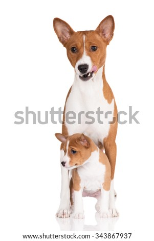 adorable basenji dog with a puppy