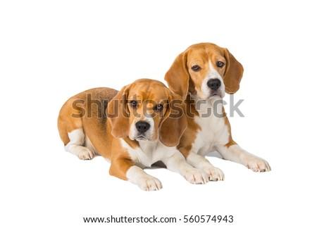 Amazing Two Beagle Adorable Dog - stock-photo-adorable-beagle-on-a-white-background-in-studio-560574943  Best Photo Reference_603969  .jpg