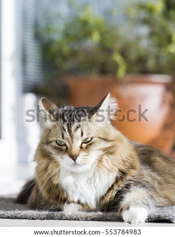 adorable brown tabby kitten, siberian cat