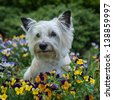 Adorable Cairn Terrier dog sitting in a field of flowers - stock photo