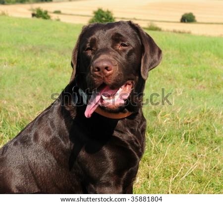 Dog Black Russian Terrier Stock Photo 511964356 - Shutterstock
