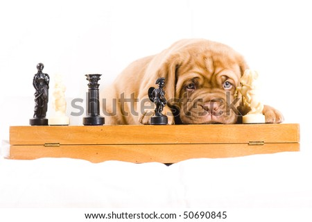adorable dogue de bordeaux puppy