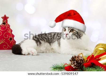 Adorable gray and white cat with Santa's hat