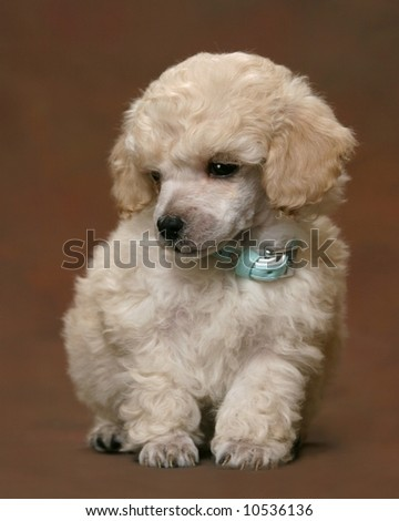 Adorable Poodle Puppy