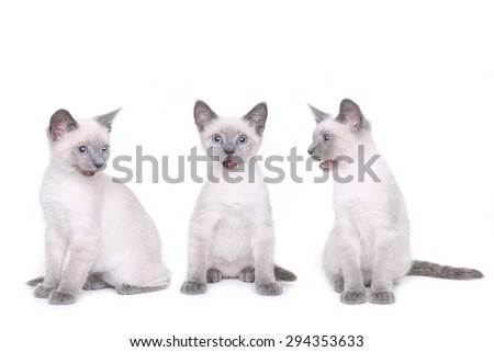 Adorable Siamese Kittens on a White Background