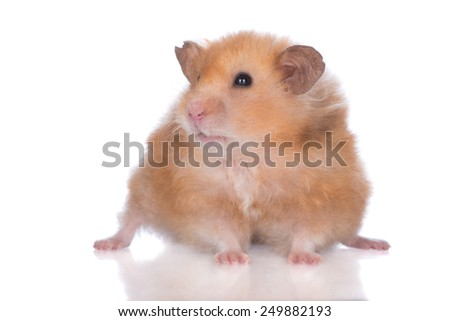 adorable small hamster on white background