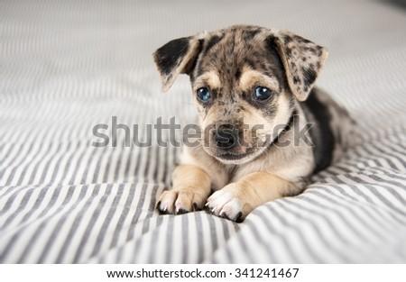 Cute Curious Shepherd Retriever Mix Dog Stock Photo ...