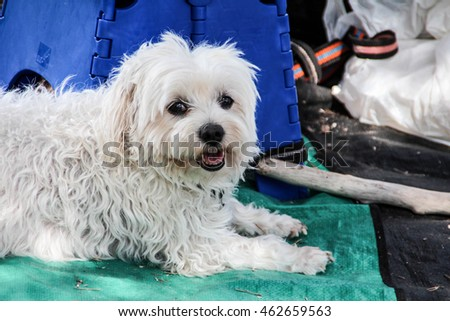 Adorable white Maltese dog chilling in the afternoon sun