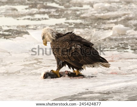 Adult bald eagle perched sitting on ice and feeding on a fish on the Missouri River along the Great River Road near Pere Marquette State Park outside of Alton, Illinois