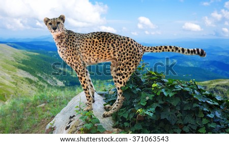 adult cheetah standing   in wildness area