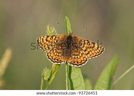 adult Glanville fritillary Melitaea cinxia in the Isle of Wight