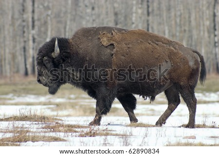 Adult male North American bison