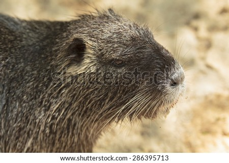 adult nutria female close-up