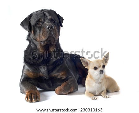 adult rottweiler and chihuahua in front of white background