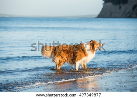 Adult Scottish Shepherd Dog Playing at the Seaside