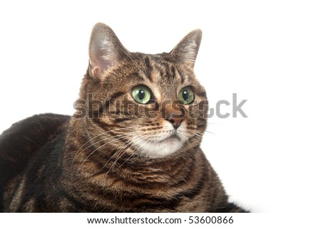 Adult tabby cat on white background