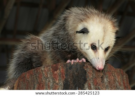 Adult Virginia Opossum Looking Down from Inside a Barn