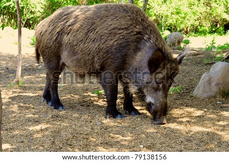 adult wild boar grazing in the special area