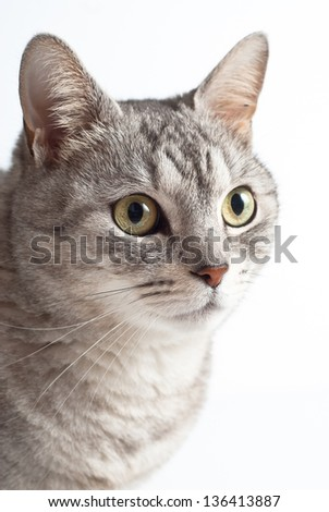 Adult young sad eyed gray cat portrait on white background