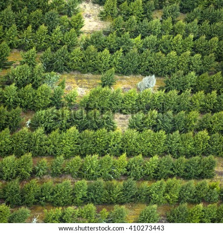 Aerial photo of fir tree plantation. The trees is planted in lines. Green, tree tops. fir-tree, neat rows from above.