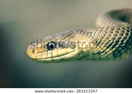 Aesculapian rat snake (Zamenis longissimus) in strike position, lateral view