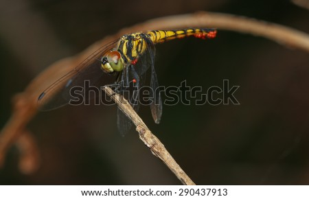 Aethriamanta aethra dragonfly with Orange Parasite