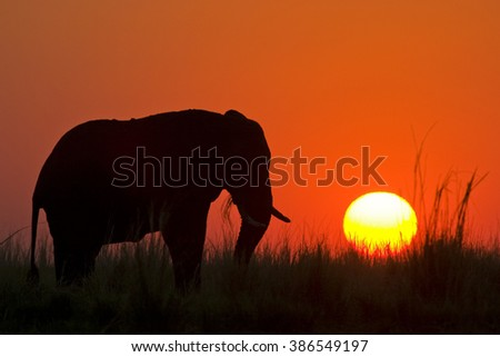 African Elephant at sunset, Chobe River, Chobe National Park, Africa