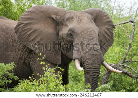 an introduction to the nature of the african elephant aka loxodonta africana Taxonomic notes: preliminary genetic evidence suggests that there may be at  least two species of african elephants, namely the savanna elephant (loxodonta .