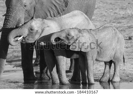African Elephant calves drinking