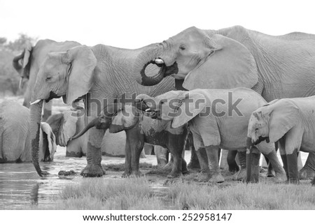 African Elephant - Wildlife Background from Africa - Sharing a Moment with Family